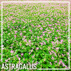 Astragalus is most well known as an immune booster and fighter of the common cold