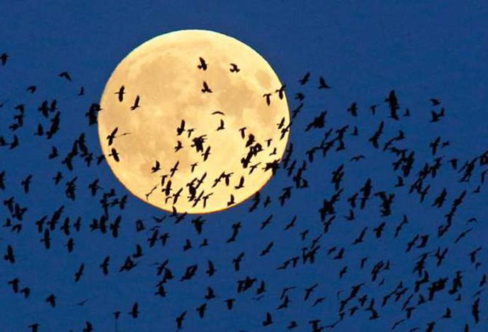Birds flying past harvest moon