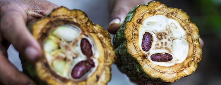 Cacao Bean Blog Banner