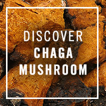 Discover Chaga Mushrooms
