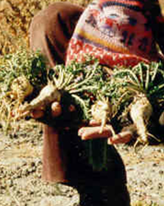 Woman holds Maca Plant